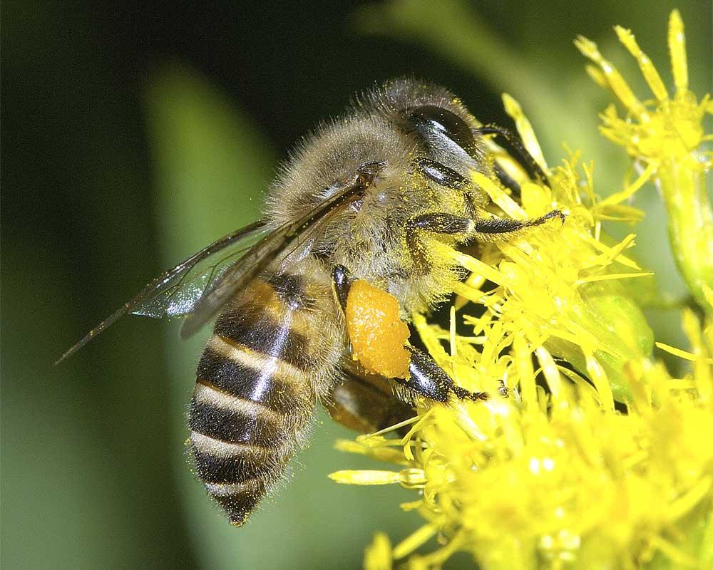 ニホンミツバチ2