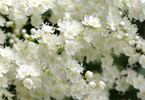 ニワナナカマドの花4