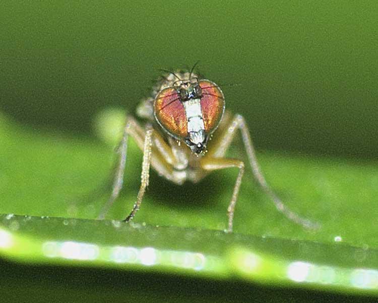 チビアシナガバエ(Chrysotus)属の1種3