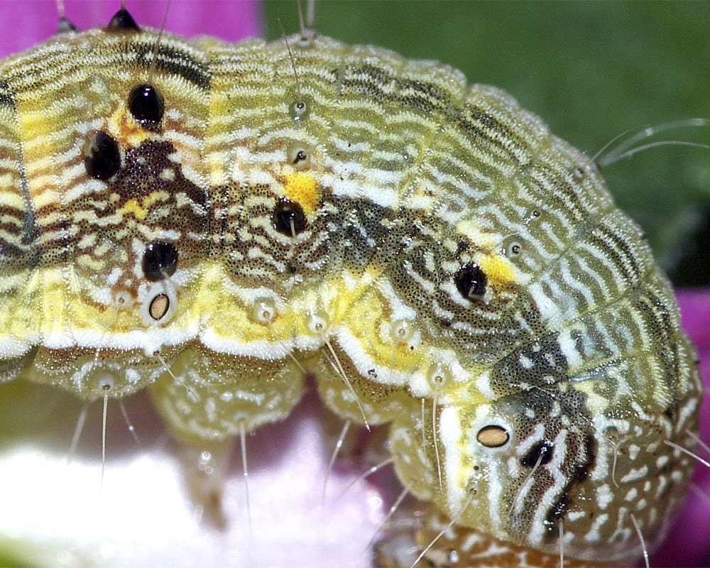 オオタバコガの幼虫(終齢:6齢)7