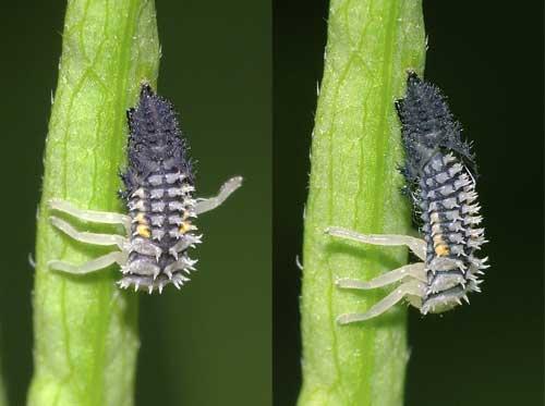 ナミテントウ幼虫の脱皮1