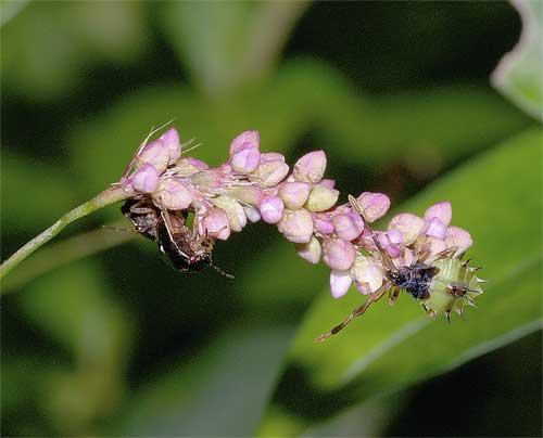 イヌタデの花とカメムシ