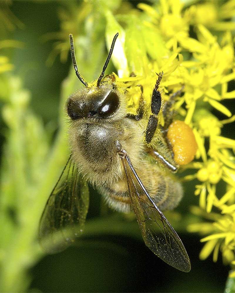 ニホンミツバチ3