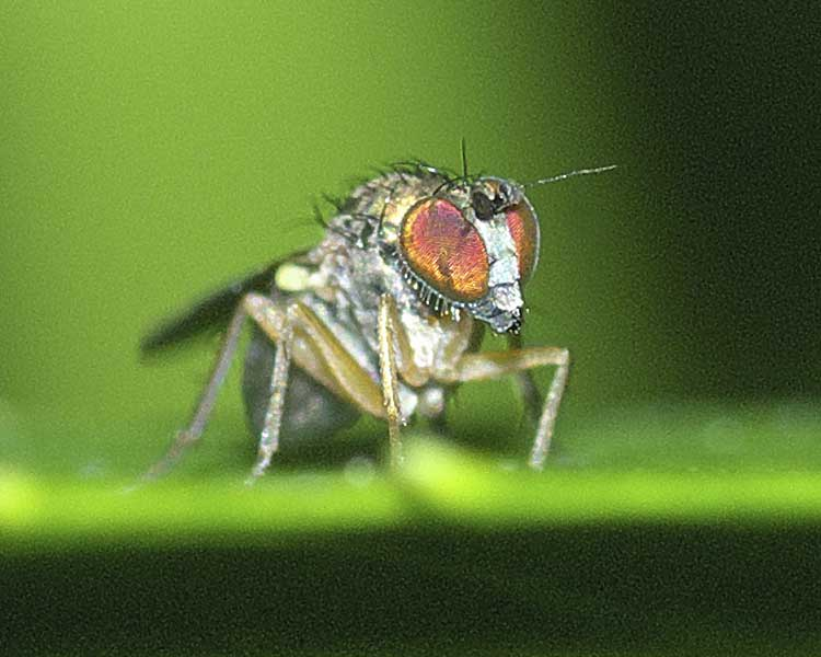 チビアシナガバエ(Chrysotus)属の1種4