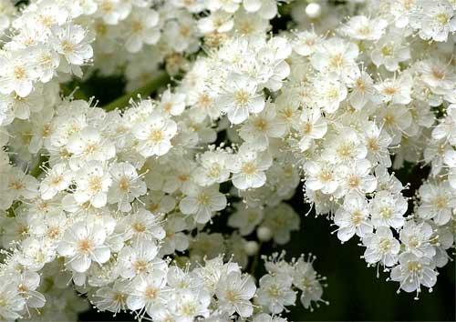 ニワナナカマドの花2