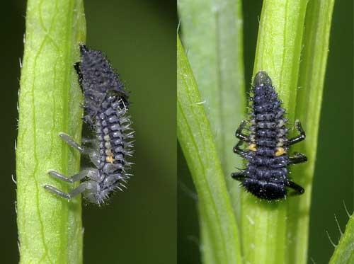 ナミテントウ幼虫の脱皮2