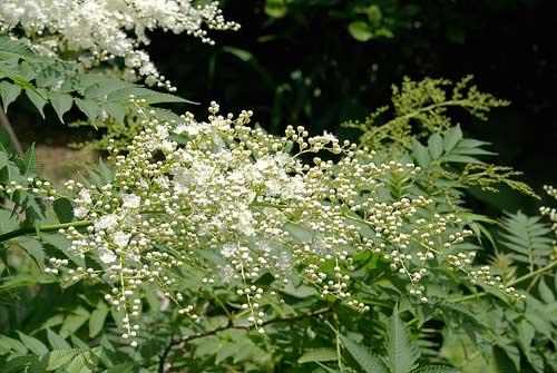 ニワナナカマドの花1