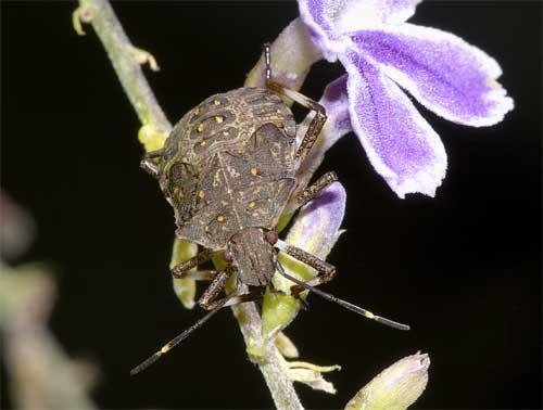 クサギカメムシ(幼虫1)