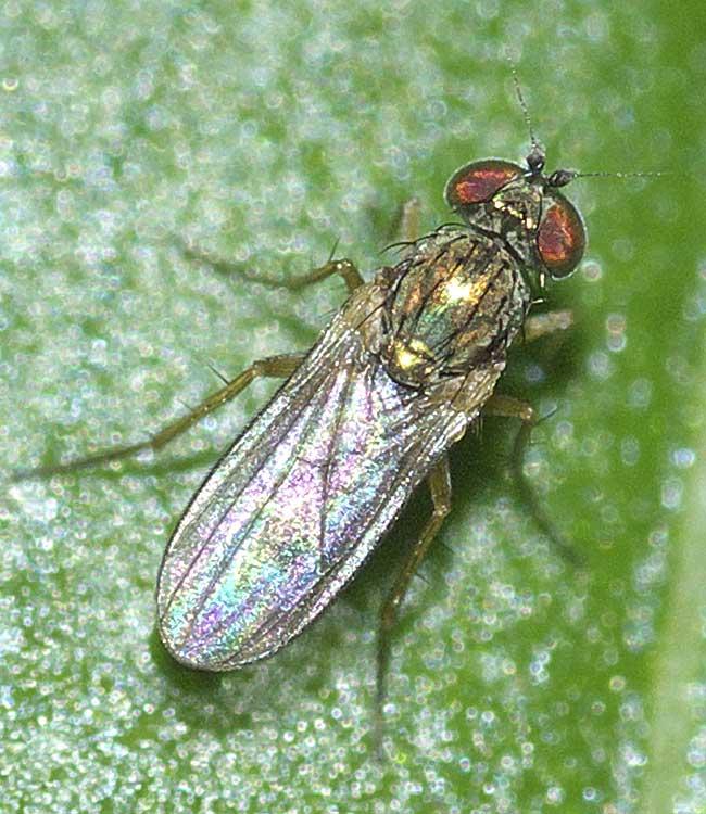 チビアシナガバエ(Chrysotus)属の1種5