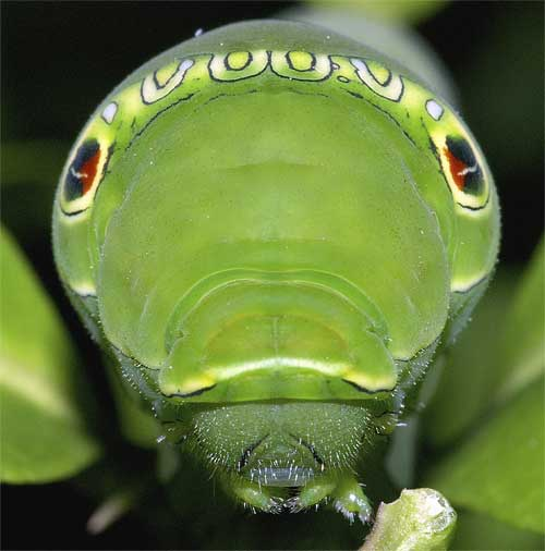 ナミアゲハの幼虫(終齢)1
