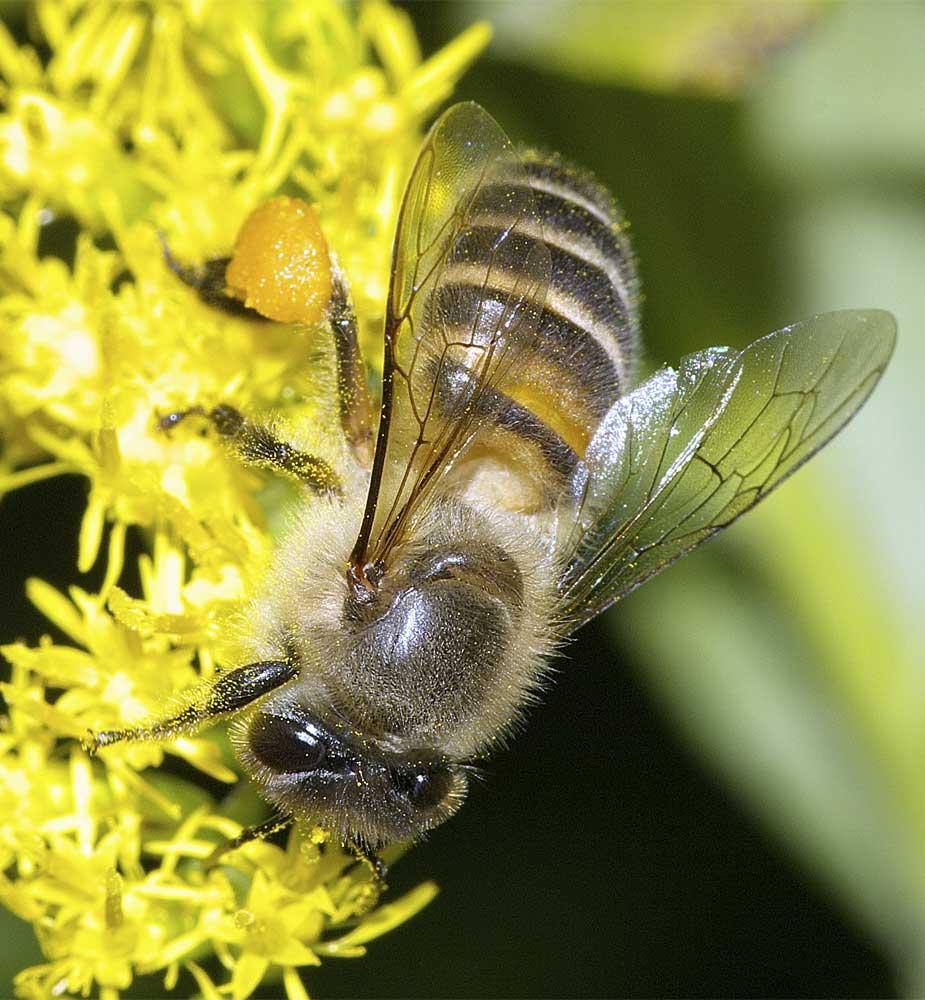 ニホンミツバチ4
