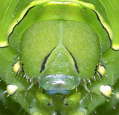 ナミアゲハの幼虫(終齢)2