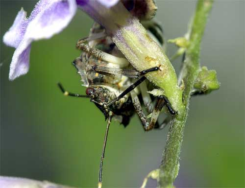 クサギカメムシ(幼虫2)