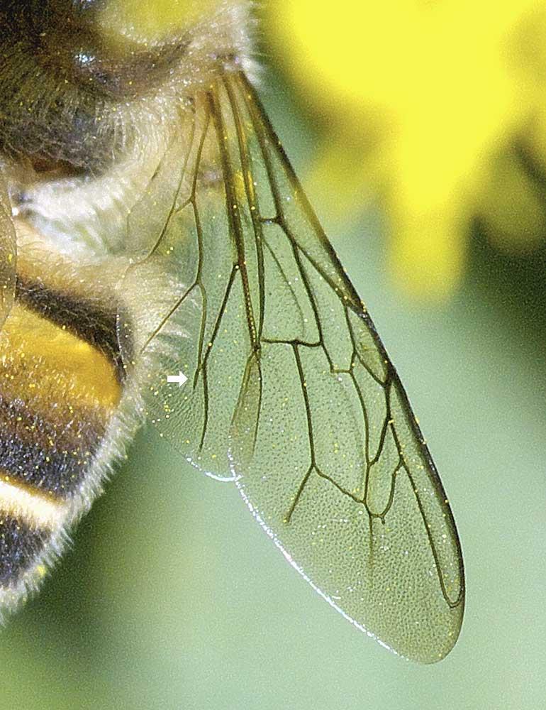 ニホンミツバチ5