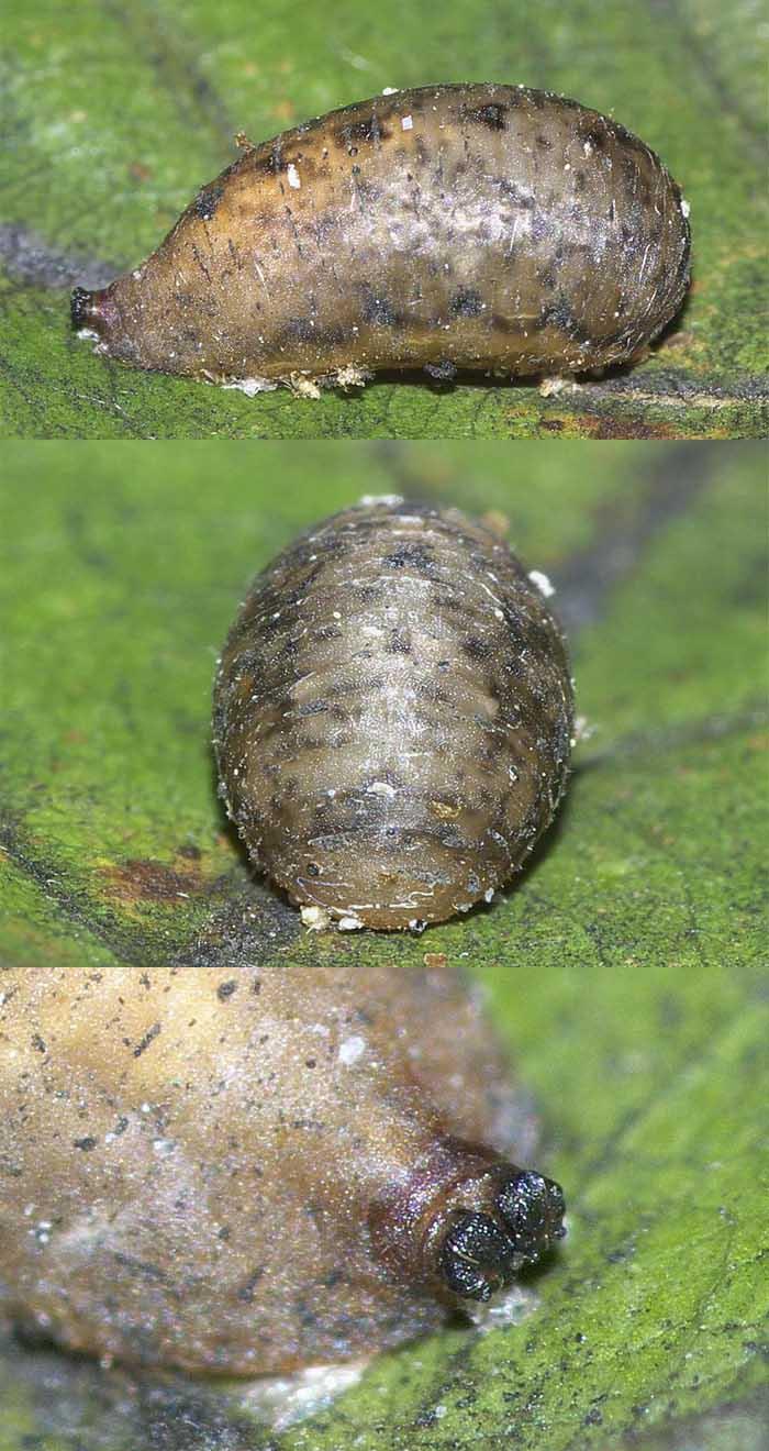 マガイヒラタアブの蛹2