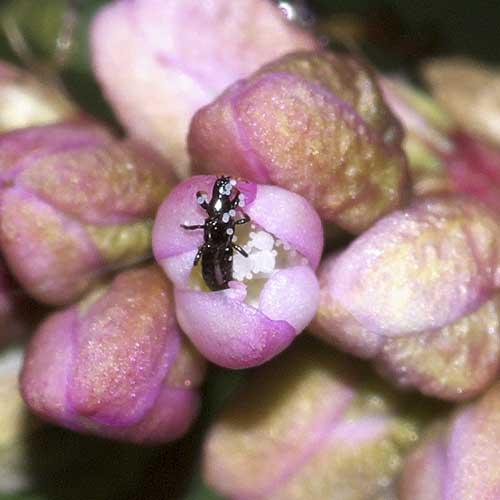 イヌタデの花と虫