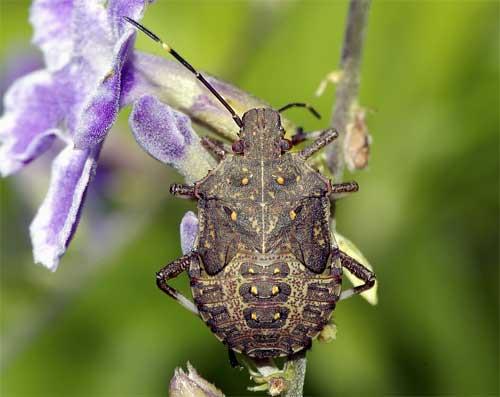 クサギカメムシ(幼虫3)