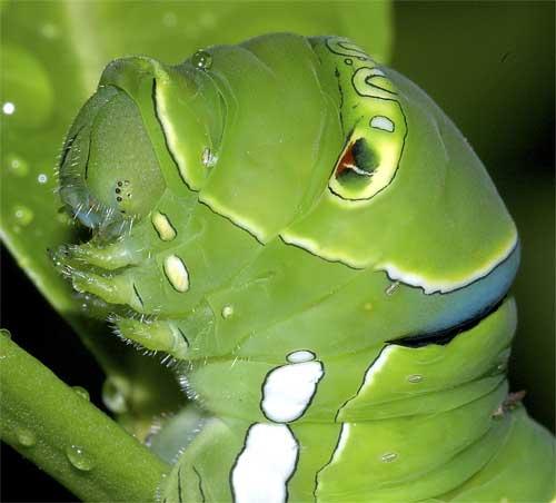ナミアゲハの幼虫(終齢)5