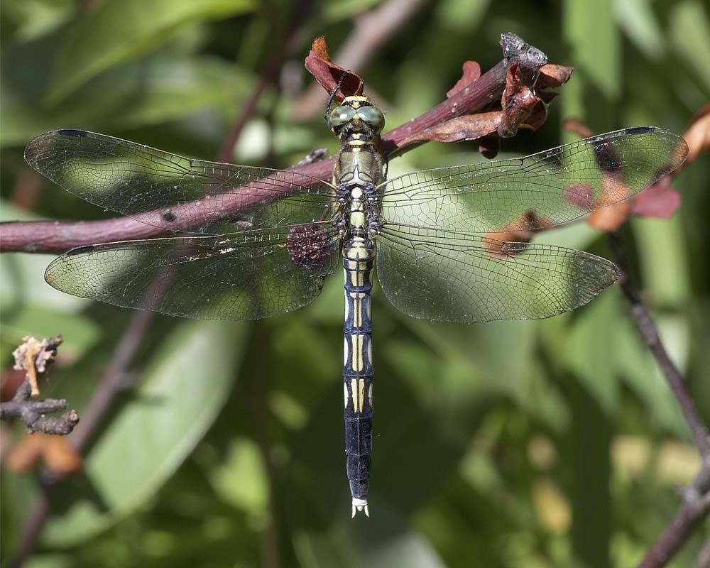 シオカラトンボ(雌)1