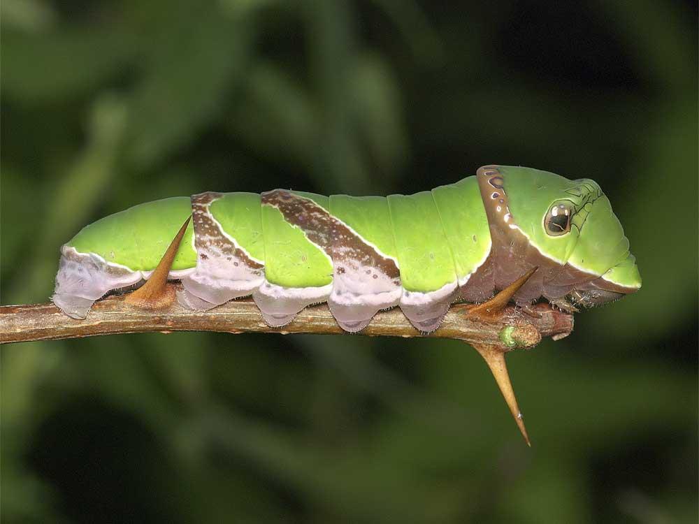 クロアゲハの終齢幼虫5