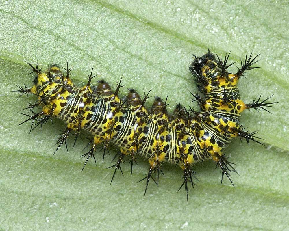 ルリタテハの4齢幼虫4