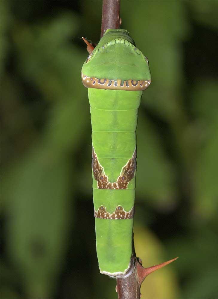 クロアゲハの終齢幼虫3