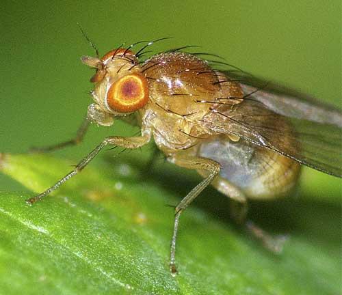 シマバエ科Homoneura属の1種3