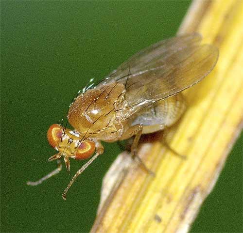 シマバエ科Homoneura属の1種4