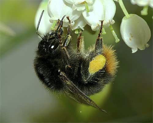 ブルーベリーの花に止まるコマルハナバチ(女王)