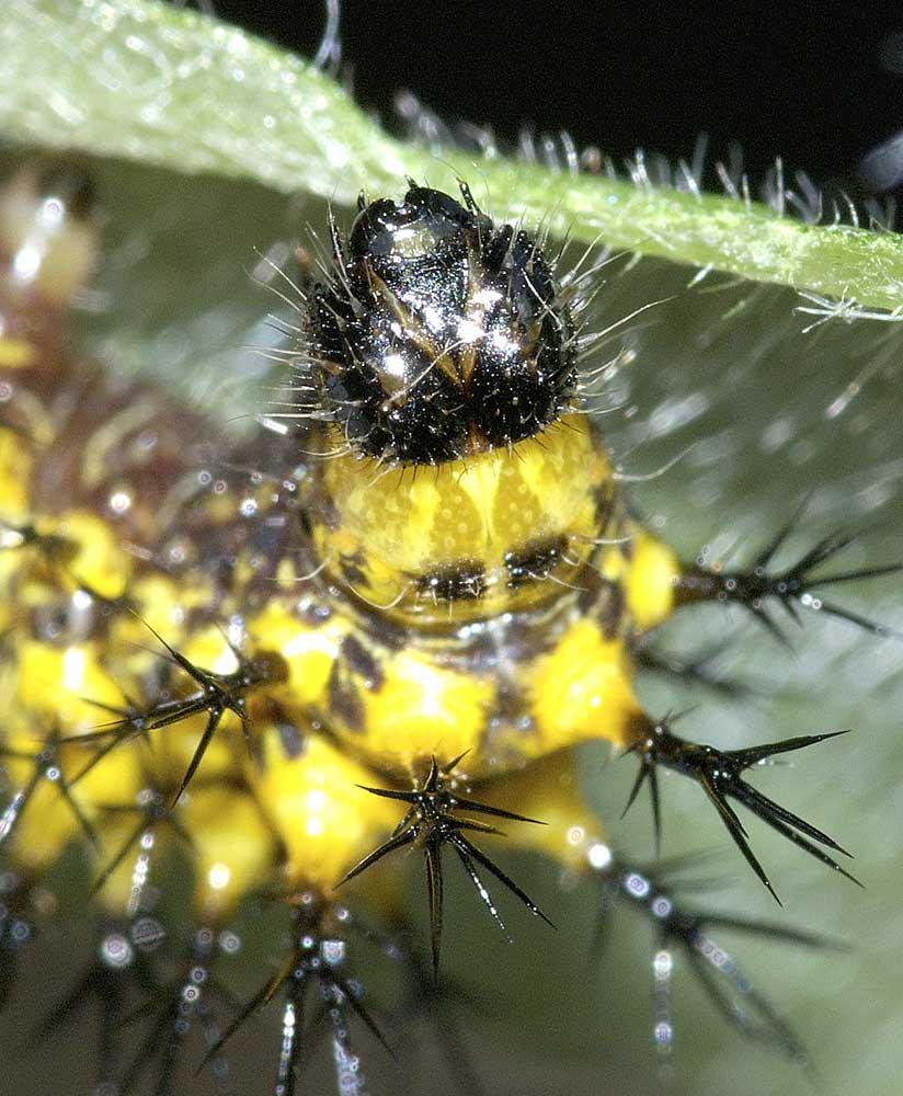 ルリタテハの4齢幼虫5