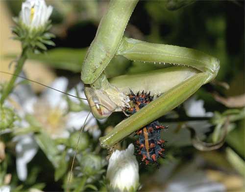 ツマグロヒョウモンの幼虫を食べるオオカマキリ