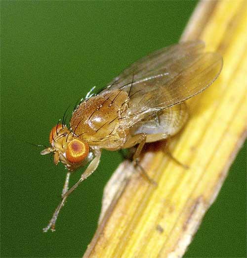 シマバエ科Homoneura属の1種5