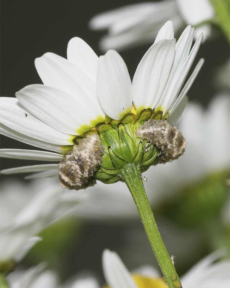 クロヒラタアブの幼虫2頭