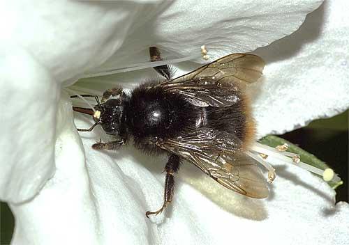 リュウキュウツツジで吸蜜するコマルハナバチ(女王)