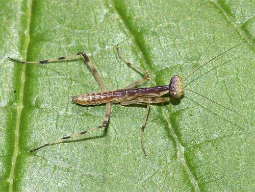 ハラビロカマキリの幼虫1