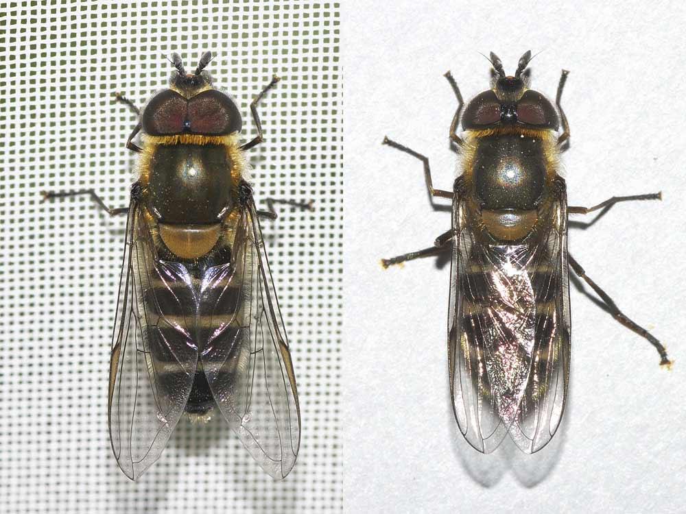 羽化したクロヒラタアブの雌雄