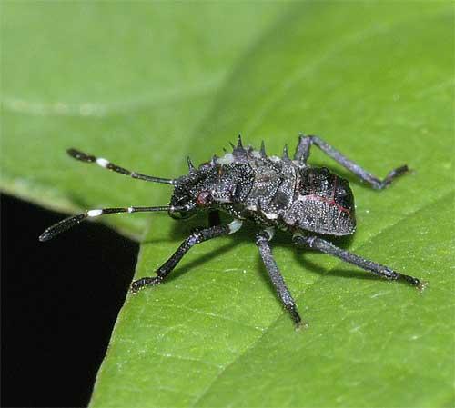 クサギカメムシの幼虫(2齢)2