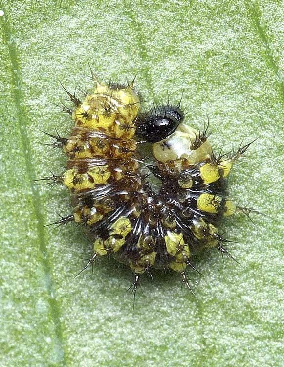 ルリタテハの2齢幼虫