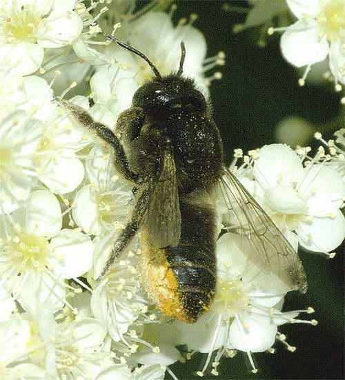 スミゾメハキリバチ(ムナカタハキリバチの雌)2