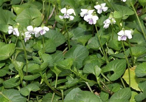ツボスミレの花
