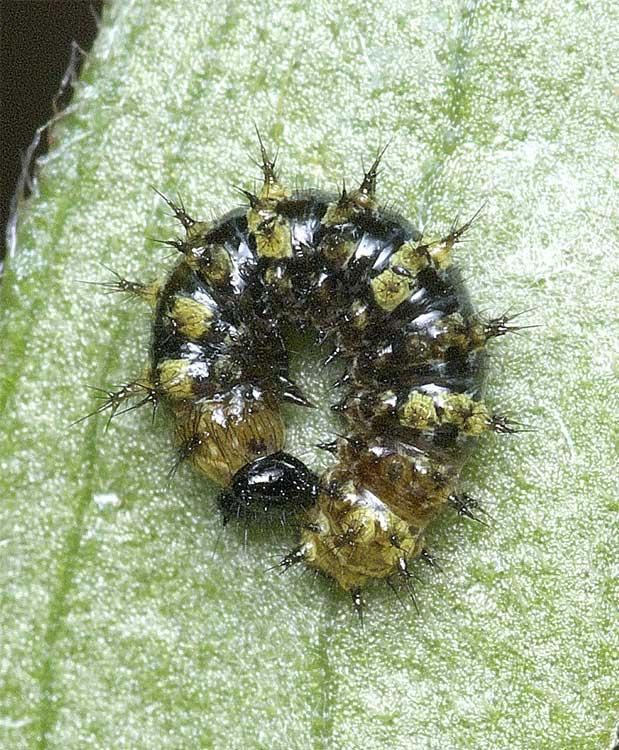ルリタテハの2齢幼虫(脱皮直前)