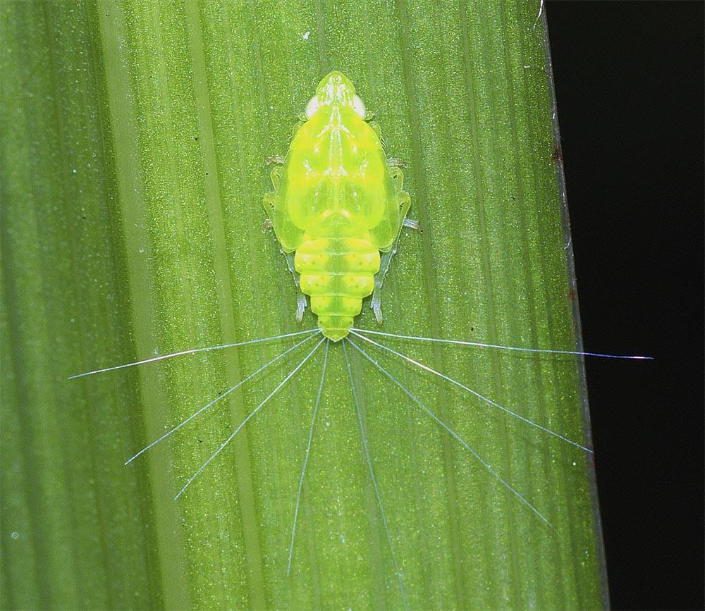 ミドリグンバイウンカの幼虫(終齢)1