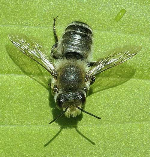 ムナカタハキリバチ(スミゾメハキリバチの雄)1