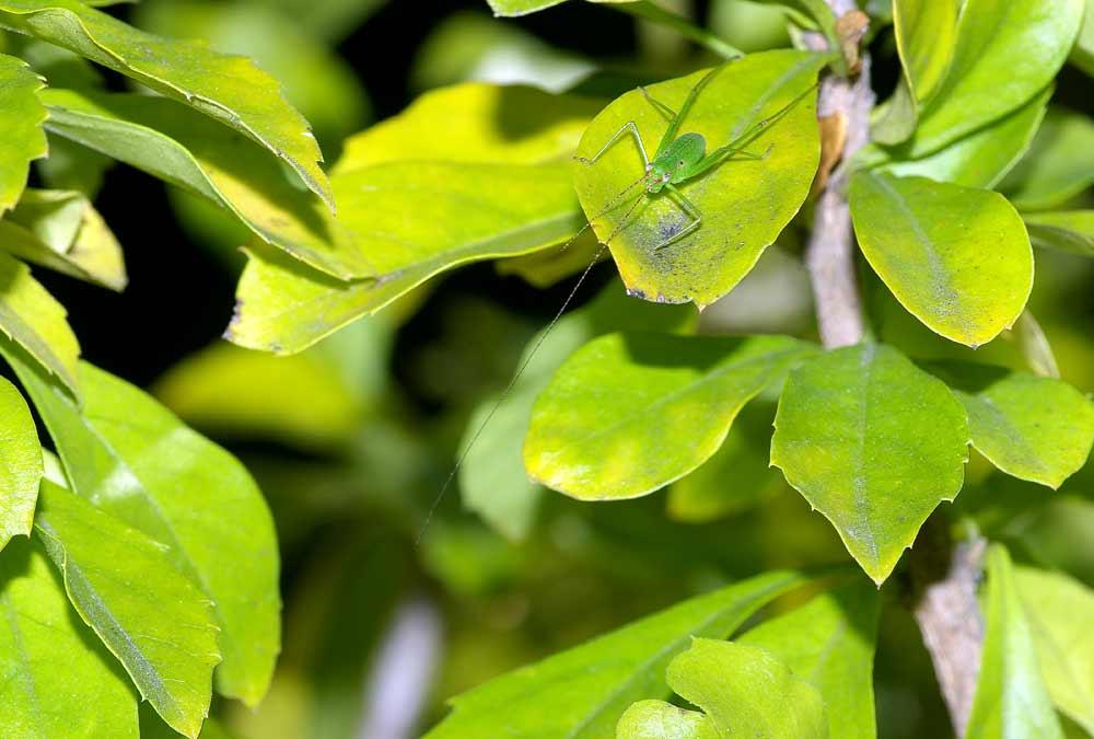 サトクダマキモドキの幼虫(3齢)1