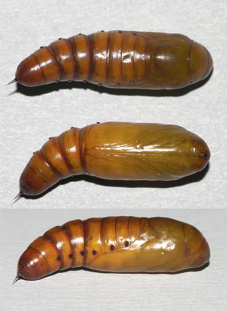 オオタバコガの蛹1