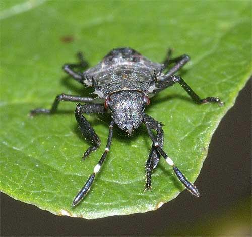 クサギカメムシの幼虫(2齢)5