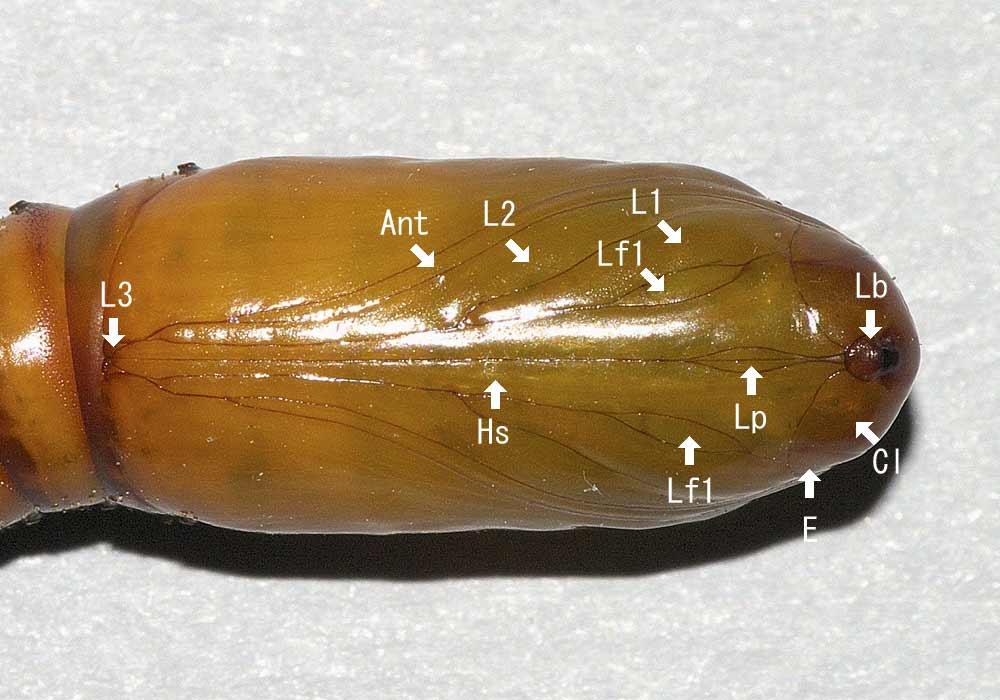 オオタバコガの蛹2
