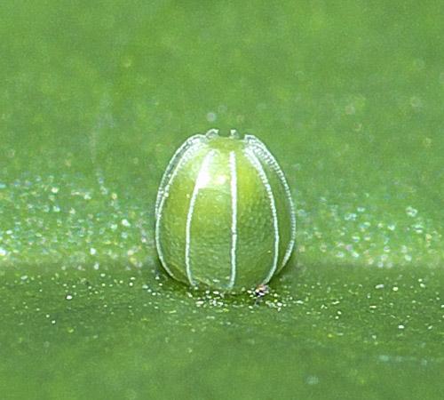 ルリタテハの卵1