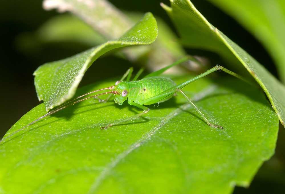 サトクダマキモドキの幼虫(3齢)4