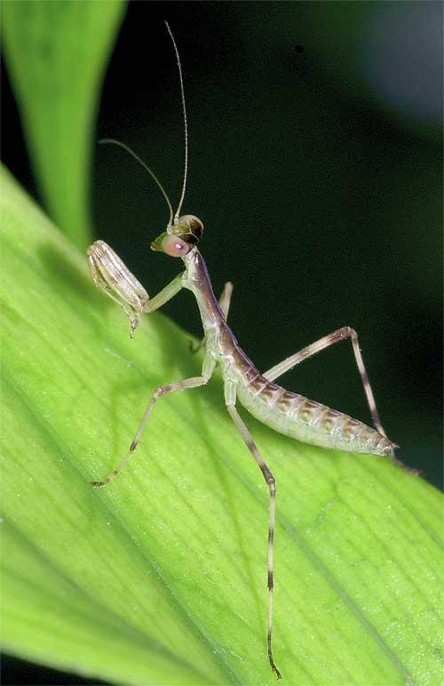 ハラビロカマキリの幼虫6